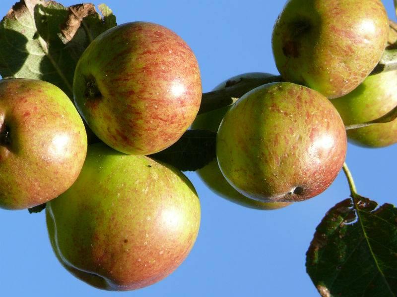 Des pommes... Des poires...
